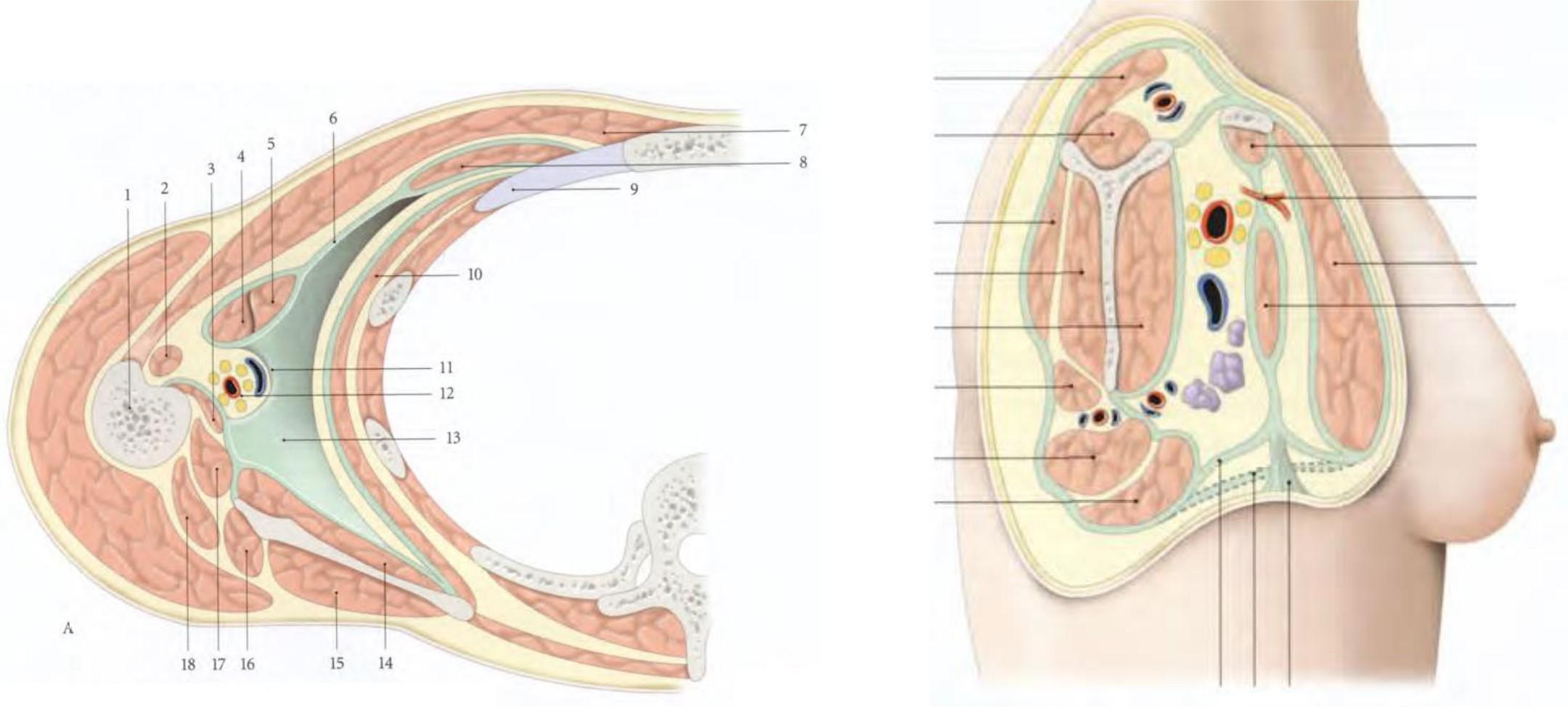 Groupe musculaire antérieur, Groupe musculaire postérieur, Groupe musculaire latéral, Groupe musculaire médial