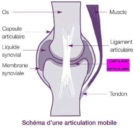 Les ligaments