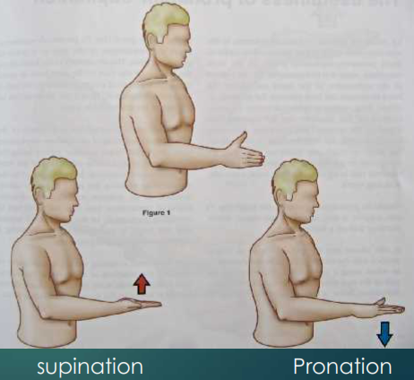 Pronation et supination