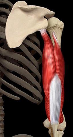 Triceps brachial loge posterieure