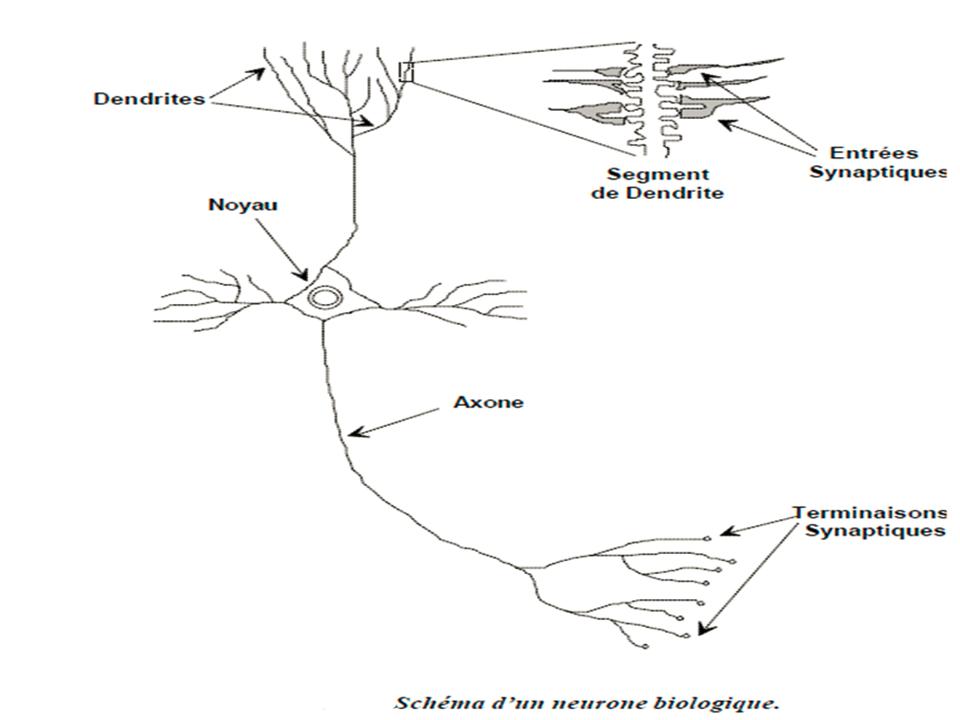 des neurones biologiques