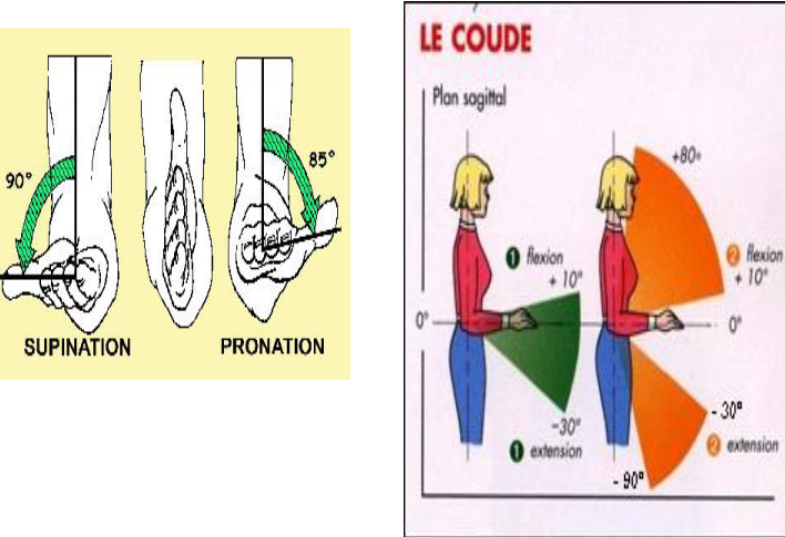 supination pronation du coude
