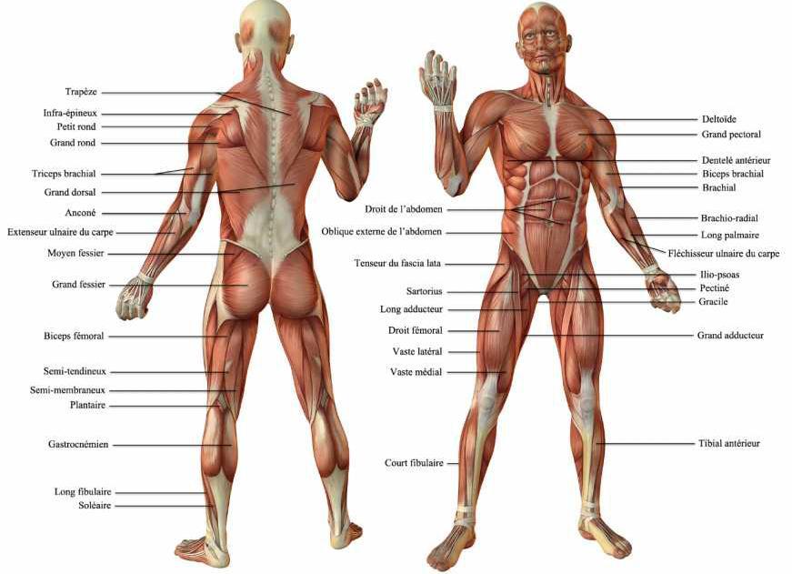 Les muscles - nombre des muscles