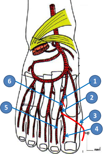 Cours-gratuit-1ere artere metatarsienne dorsale