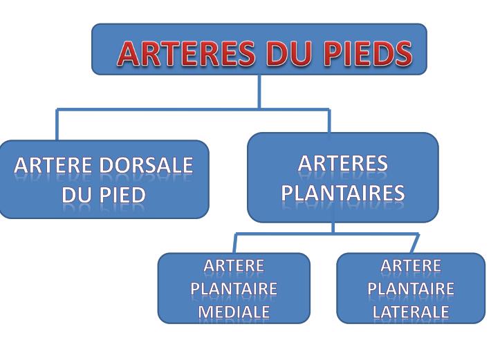 Cours-gratuit-ARTERES DU PIED