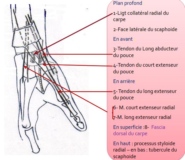Artère radiale : rapports