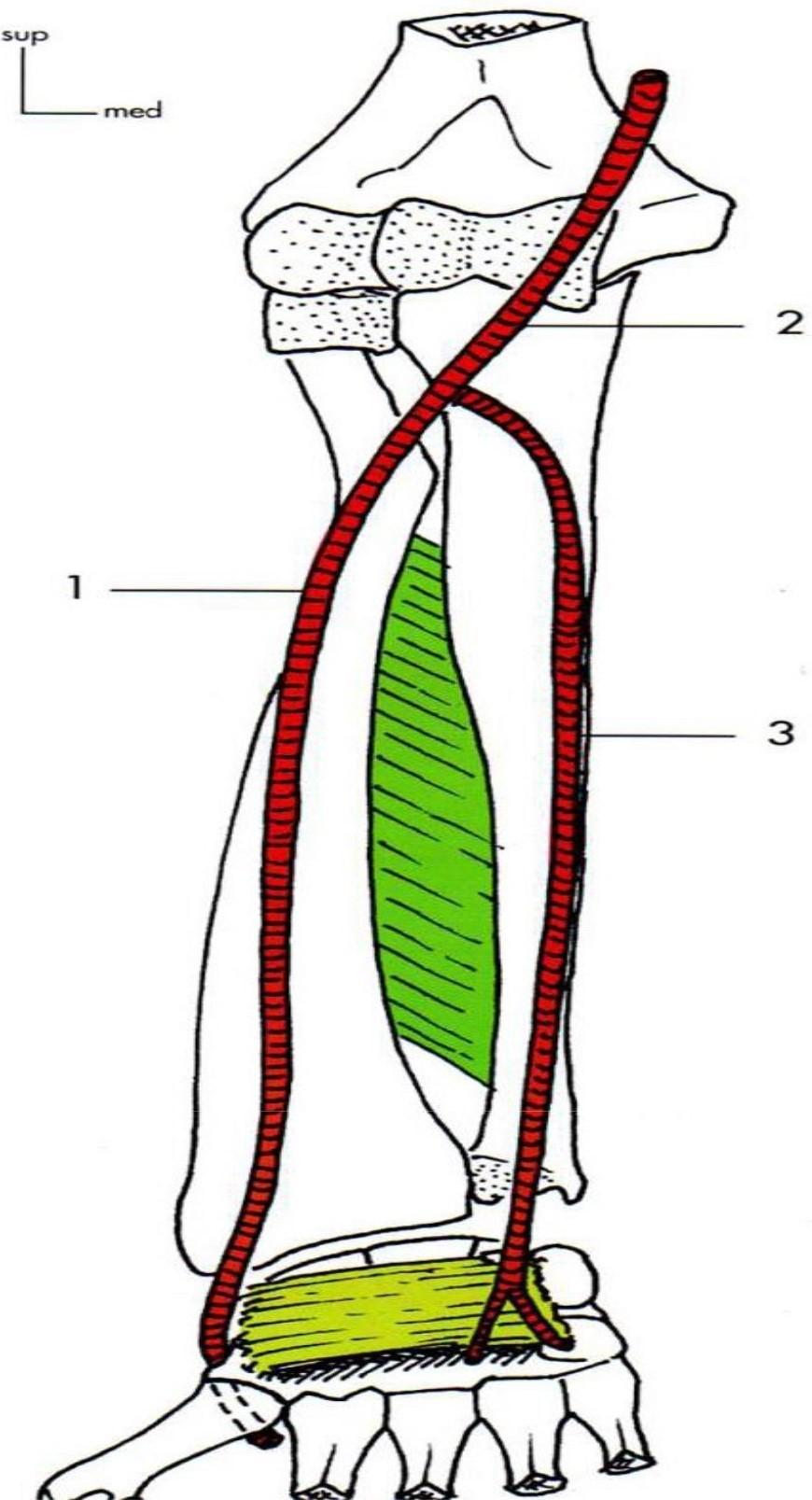 Les Artères de l'avant-bras Artere ulnaire Artere brachiale Artere radiale