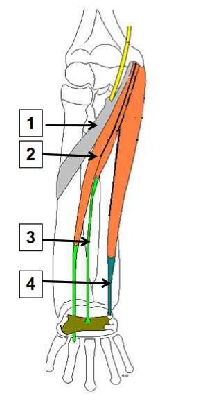 La loge ventrale plan suoerficiel