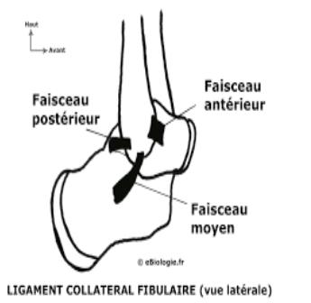Cours-gratuit-Ligament calcaneo fibulaire