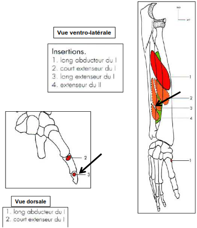 Loge dorsale Long extenseur du pouce