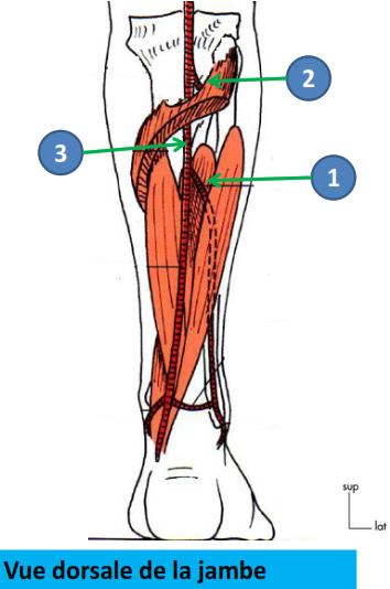 Cours-gratuit-Origine L artere fibulaire