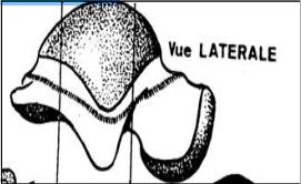 Cours-gratuit-Surface malleolaire laterale du talus