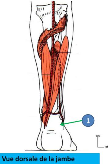 Cours-gratuit-Terminaison artere fibulaire