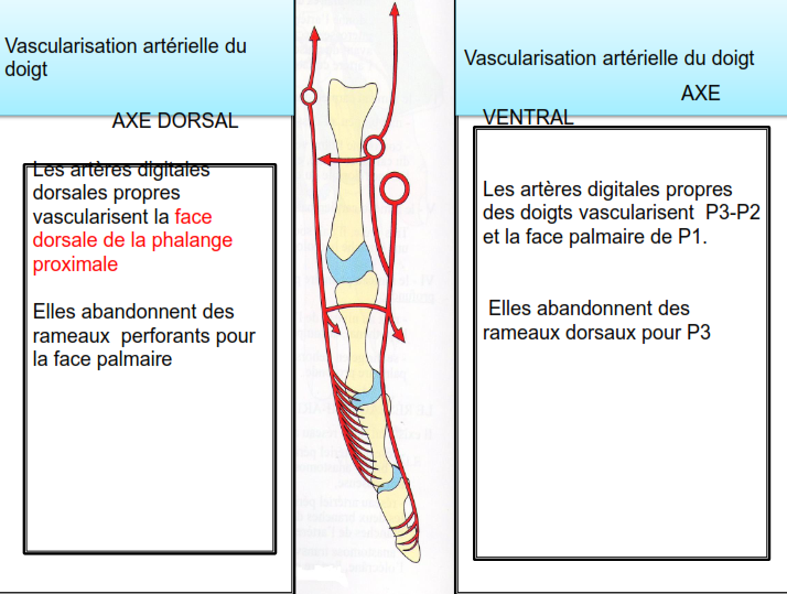 Vascularisation arterielle du doigt