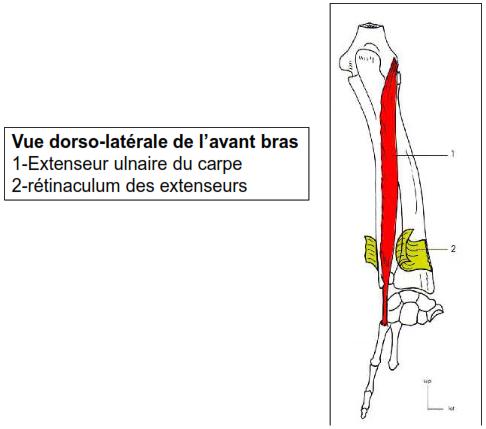 Vue dorso-laterale de l avant bras