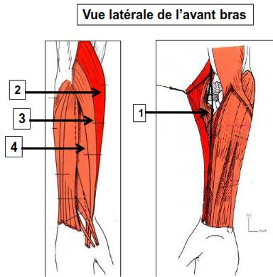 Vue latérale de l'avant bras
