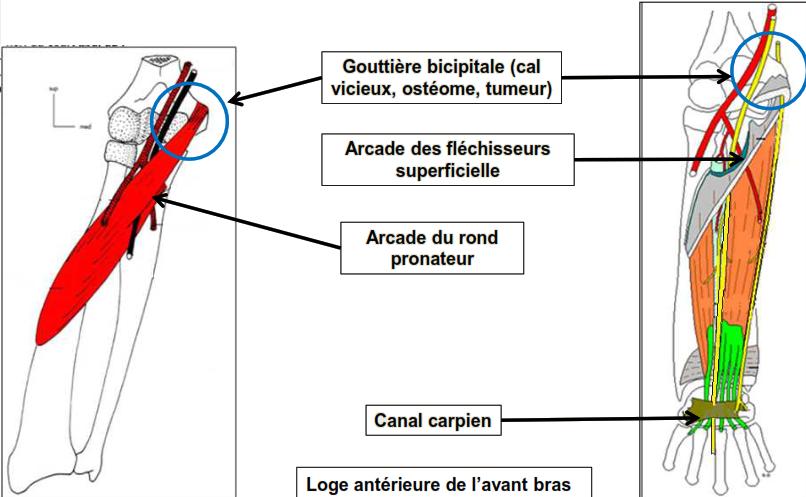 Cours-gratuit-anatomie clinique PAR COMPRESSION au niveau 1