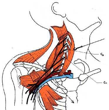 Cours-gratuit-anatomie clinique les atteintes isolee du nerf musculo cutane 1