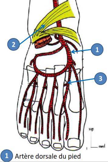 Cours-gratuit-artere dorsale du pied origine trajet terminaison