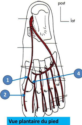 Cours-gratuit-artere plantaire mediale terminaison