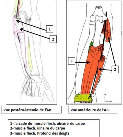 avant bras postero laterale et anterieure