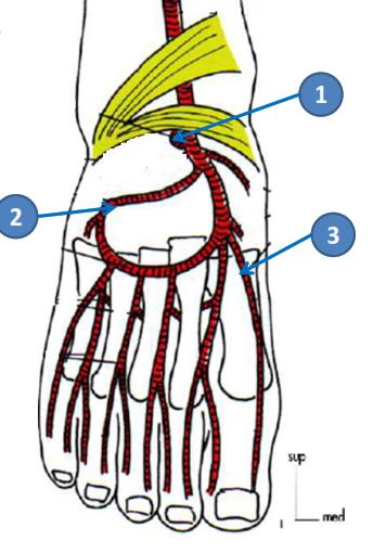 Cours-gratuit-branches collaterales artere dorsale du pied