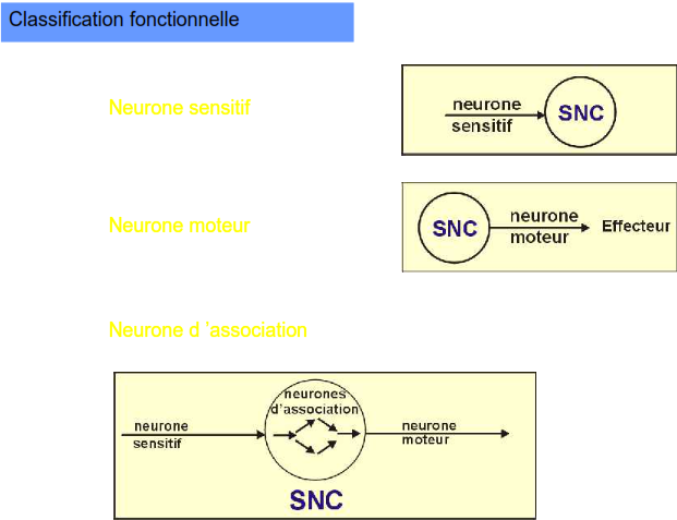 classification fonctionnelle neurone