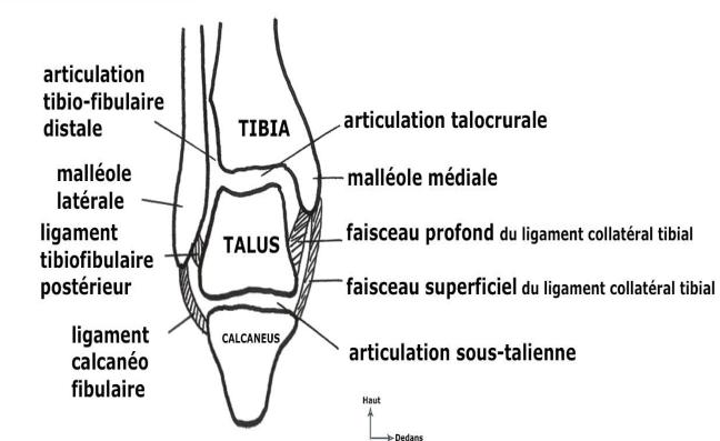 Cours-gratuit-coupe frontale des articulations de la cheville