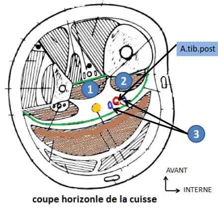 Cours-gratuit-coupe horizontale de la cuisse la region posterieure de la jambe