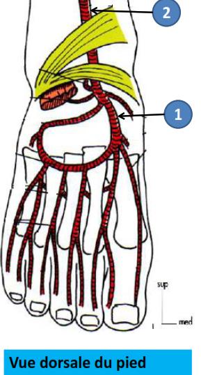 Cours-gratuit-definition artere dorsale du pied