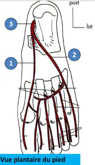Cours-gratuit-definition artere plantaire mediale