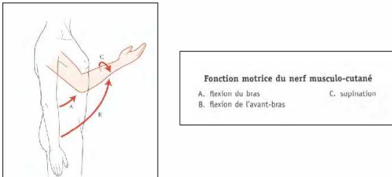 Cours-gratuit-fonction motrice du nerf musculo cutane
