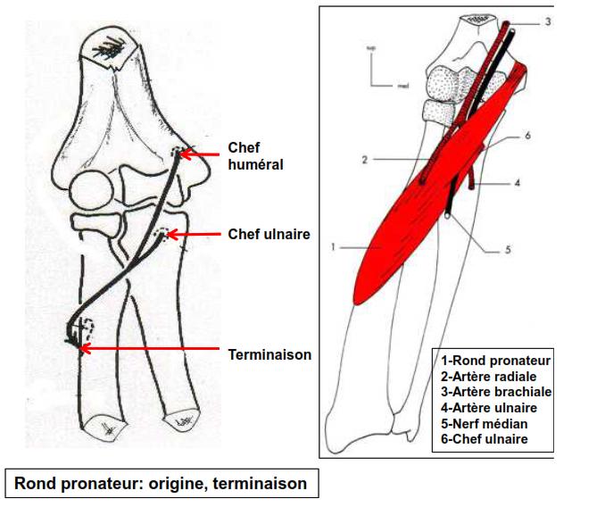 la loge ventrale Le rond pronateur