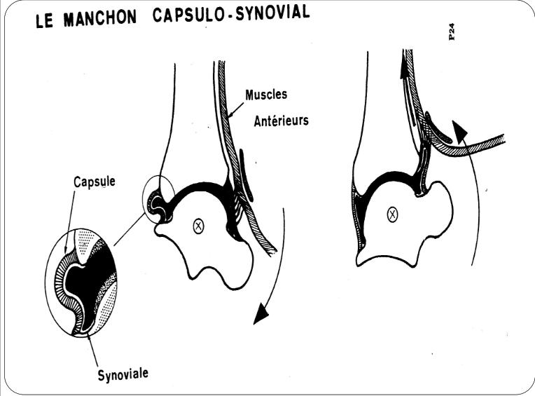 Cours-gratuit-la manchon capsulo synovial