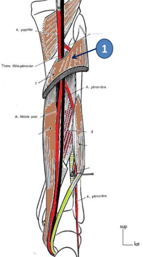 Cours-gratuit-le muscle soleaire et le fascia crural profond
