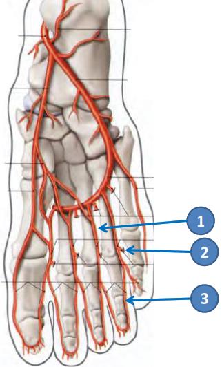 Cours-gratuit-les arteres metatarsiennes plantaires pour les 4 EIO