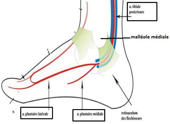 Cours-gratuit-les arteres plantaires mediale et laterale