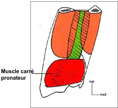 muscle carre pronateur