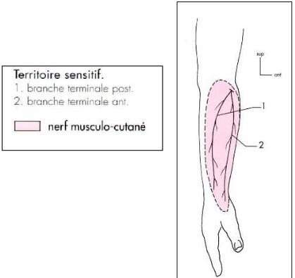 Cours-gratuit-nerf musculo cutane fonction sensitive 1