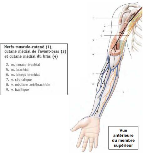 Cours-gratuit-nerfs musculo cutane medial de l avant bras et cutane medial du bras