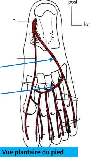 Cours-gratuit-origine trajet terminaison artere plantaire laterale