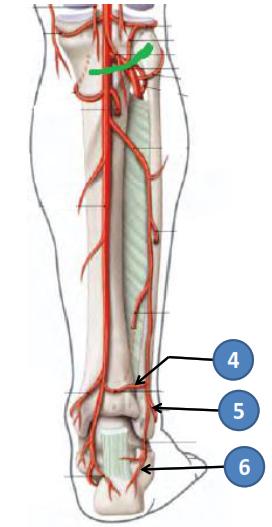 Cours-gratuit-rameau anastomotique transversal artere malleolaire posterolaterale rameau calcaneen lateral