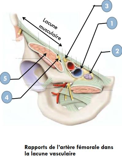 Cours-gratuit-rapports de l artere femorale dans la lacune vasculaire