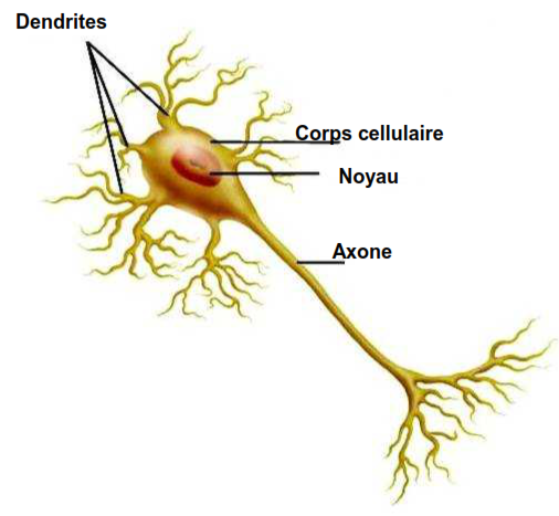 structure neurone