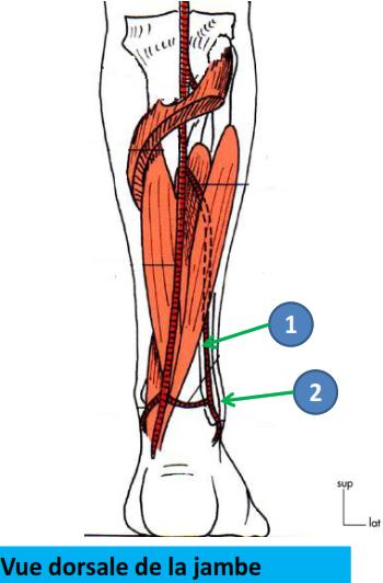 Cours-gratuit-trajet artere fibulaire