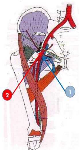 Cours-gratuit-vasculo nerveux la veine femorale