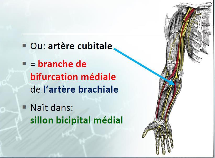 Les Artères de l'avant-bras artere cubitale artere brachiale