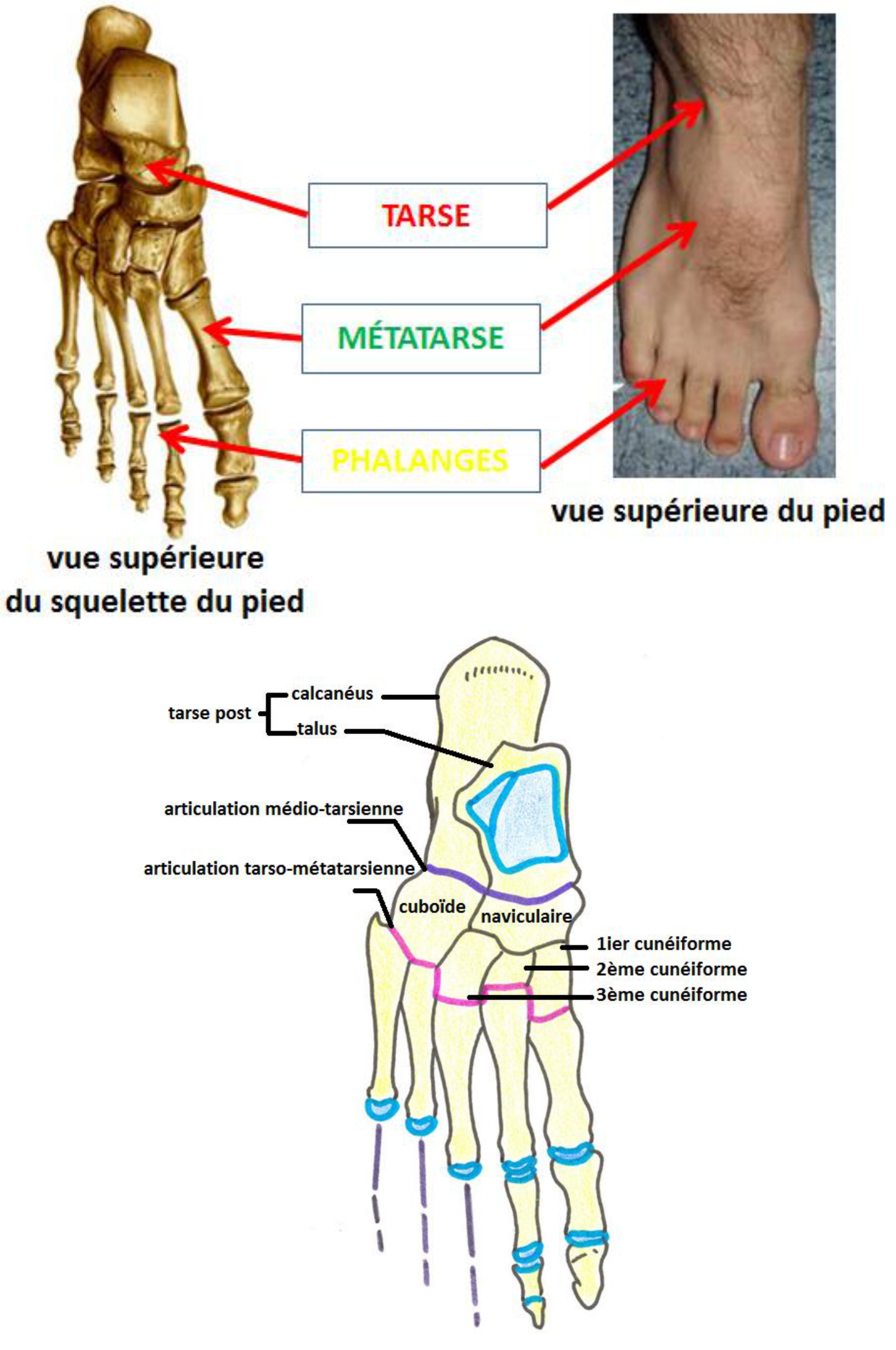 LE PIED OSSEUX Cours anatomie humaine