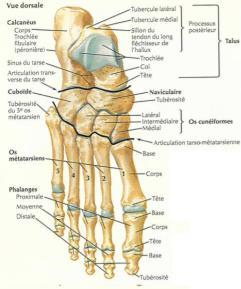 les articulations du pied