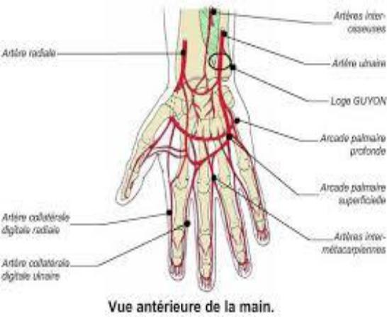 artères de la main 2